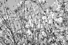 Ανθίζοντας κλάδοι δέντρων Στοκ Εικόνα