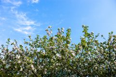 Ανθίζοντας κλάδοι του δέντρου μηλιάς ενάντια στο μπλε ουρανό Στοκ εικόνες με δικαίωμα ελεύθερης χρήσης