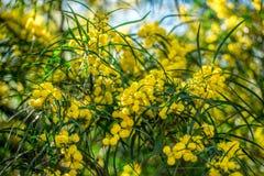 Ανθίζοντας κλάδοι mimosa ενάντια στον ουρανό Στοκ Εικόνες