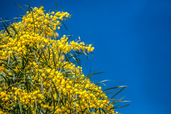 Ανθίζοντας κλάδοι mimosa ενάντια στον ουρανό Στοκ φωτογραφία με δικαίωμα ελεύθερης χρήσης