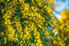Ανθίζοντας κλάδοι mimosa ενάντια στον ουρανό Στοκ Φωτογραφίες