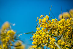 Ανθίζοντας κλάδοι mimosa ενάντια στον ουρανό Στοκ εικόνες με δικαίωμα ελεύθερης χρήσης