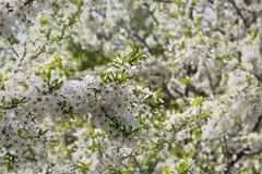 Ανθίζοντας κλάδος δέντρων μηλιάς σε ένα άσπρο θολωμένο υπόβαθρο Στοκ φωτογραφία με δικαίωμα ελεύθερης χρήσης