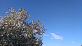 Ανθίζοντας κλάδος δέντρων Στοκ εικόνα με δικαίωμα ελεύθερης χρήσης