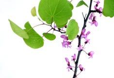 Ανθίζοντας κλάδος με τα φύλλα, στο λευκό στοκ εικόνες με δικαίωμα ελεύθερης χρήσης