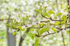 Ανθίζοντας κλάδος του δέντρου αχλαδιών στο θολωμένο οπωρώνα υποβάθρου Στοκ Εικόνες