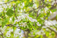 Ανθίζοντας κλάδος του δέντρου αχλαδιών στο θολωμένο οπωρώνα υποβάθρου, clo Στοκ Εικόνα