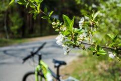 Ανθίζοντας κλάδος του δέντρου κερασιών με το θολωμένο mtb ποδήλατο στην πλάτη Στοκ φωτογραφίες με δικαίωμα ελεύθερης χρήσης