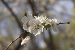 Ανθίζοντας κλάδος του βερίκοκο-δέντρου σε μια ηλιόλουστη ημέρα άνοιξη Στοκ φωτογραφία με δικαίωμα ελεύθερης χρήσης