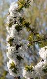 Ανθίζοντας κλάδος του κερασιού του vignola, Μοντένα Στοκ Εικόνα