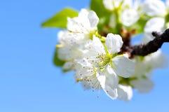 Ανθίζοντας κλάδος του μήλου ενάντια στο μπλε ουρανό και τα πράσινα φύλλα Στοκ Φωτογραφία