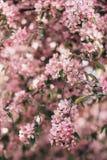 Ανθίζοντας κλάδος του ρόδινου δέντρου μηλιάς ή του κερασιού Στοκ Φωτογραφίες