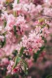 Ανθίζοντας κλάδος του ρόδινου δέντρου μηλιάς ή του κερασιού Στοκ Εικόνα