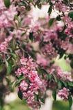 Ανθίζοντας κλάδος του ρόδινου δέντρου μηλιάς ή του κερασιού Στοκ φωτογραφίες με δικαίωμα ελεύθερης χρήσης