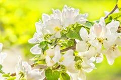 Ανθίζοντας κλάδος του Apple-δέντρου μια άνοιξη, μακροεντολή στοκ φωτογραφίες με δικαίωμα ελεύθερης χρήσης