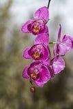 Ανθίζοντας κλάδος του phalaenopsis ορχιδεών Στοκ Εικόνες