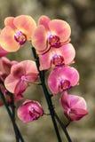 Ανθίζοντας κλάδος του phalaenopsis ορχιδεών Στοκ εικόνα με δικαίωμα ελεύθερης χρήσης