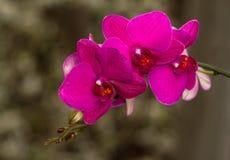 Ανθίζοντας κλάδος του phalaenopsis ορχιδεών Στοκ Εικόνα