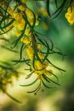 Ανθίζοντας κλάδος mimosa σφαίρες χνουδωτές Στοκ φωτογραφία με δικαίωμα ελεύθερης χρήσης
