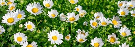 Ανθίζοντας λιβάδι άνοιξη με τα chamomile λουλούδια Όμορφη άνθιση στοκ εικόνα με δικαίωμα ελεύθερης χρήσης