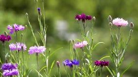 Ανθίζοντας λιβάδι με τα πολύχρωμα cornflowers τομέων απόθεμα βίντεο