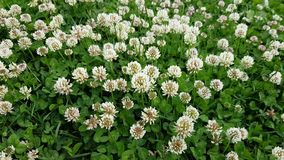 Ανθίζοντας λουλούδια άσπρου τριφυλλιού που ταλαντεύονται στον αέρα στη θερινή ημέρα απόθεμα βίντεο
