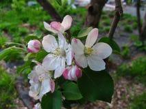 Ανθίζοντας λουλούδια δέντρων μηλιάς με τα πράσινα φύλλα στοκ εικόνες με δικαίωμα ελεύθερης χρήσης