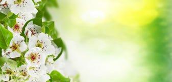 Ανθίζοντας λουλούδια δέντρων της Apple Στοκ Εικόνα