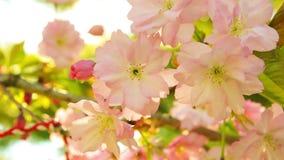 Ανθίζοντας λουλούδια δέντρων sakura άνοιξη την ηλιόλουστη ημέρα φιλμ μικρού μήκους