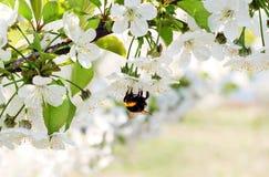 Ανθίζοντας λουλούδια και μέλισσα δέντρων κερασιών Στοκ Φωτογραφίες
