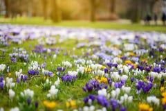 Ανθίζοντας λουλούδια κρόκων στο πάρκο μπλε σύννεφων πλήρες πράσινο τοπίο εστίασης πεδίων ημέρας οφειλόμενο λίγη μετακίνηση όχι εμ Στοκ Φωτογραφίες