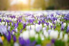 Ανθίζοντας λουλούδια κρόκων στο πάρκο μπλε σύννεφων πλήρες πράσινο τοπίο εστίασης πεδίων ημέρας οφειλόμενο λίγη μετακίνηση όχι εμ Στοκ φωτογραφία με δικαίωμα ελεύθερης χρήσης