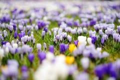 Ανθίζοντας λουλούδια κρόκων στο πάρκο μπλε σύννεφων πλήρες πράσινο τοπίο εστίασης πεδίων ημέρας οφειλόμενο λίγη μετακίνηση όχι εμ Στοκ εικόνες με δικαίωμα ελεύθερης χρήσης