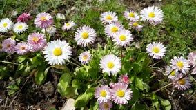 Ανθίζοντας λουλούδια μαργαριτών που ταλαντεύονται στον αέρα απόθεμα βίντεο
