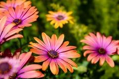 Ανθίζοντας λουλούδια στο Ισραήλ Στοκ Φωτογραφίες