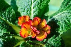 Ανθίζοντας λουλούδια της πορτοκαλιάς βιολέτας με με τα κόκκινα σύνορα στοκ φωτογραφία με δικαίωμα ελεύθερης χρήσης