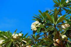 Ανθίζοντας λουλούδια aralia ή του plumeria ενάντια στο μπλε ουρανό Στοκ φωτογραφία με δικαίωμα ελεύθερης χρήσης