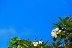 Ανθίζοντας λουλούδια aralia ή του plumeria ενάντια στο μπλε ουρανό Στοκ Εικόνες