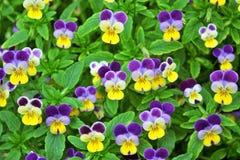 ανθίζοντας λουλούδια pansy Στοκ φωτογραφία με δικαίωμα ελεύθερης χρήσης