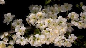 Ανθίζοντας λουλούδια sakura απόθεμα βίντεο