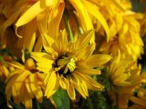 ανθίζοντας λουλούδι κίτρινο Στοκ Εικόνες