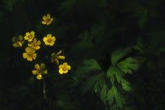 Ανθίζοντας λουλούδι κινηματογραφήσεων σε πρώτο πλάνο των acris βατραχίων νεραγκουλών Στοκ φωτογραφία με δικαίωμα ελεύθερης χρήσης