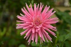 Ανθίζοντας λουλούδι της ρόδινης ντάλιας Στοκ φωτογραφία με δικαίωμα ελεύθερης χρήσης