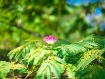 Ανθίζοντας λουλούδι του περσικού δέντρου μεταξιού στον κλάδο στοκ εικόνες