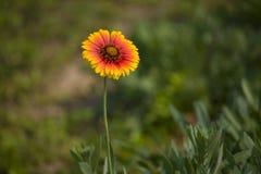 Ανθίζοντας λουλούδι Στοκ Εικόνες