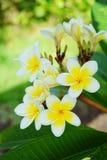 Ανθίζοντας λουλούδι plumeria, δέντρο παγοδών Στοκ εικόνα με δικαίωμα ελεύθερης χρήσης