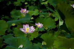 ανθίζοντας λωτός λουλ&omicro Στοκ εικόνα με δικαίωμα ελεύθερης χρήσης