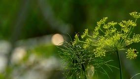 Ανθίζοντας μάραθο σε έναν κήπο και ιπτάμενα έντομα απόθεμα βίντεο