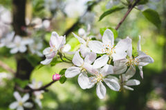 Ανθίζοντας μήλο κλάδων Στοκ εικόνες με δικαίωμα ελεύθερης χρήσης