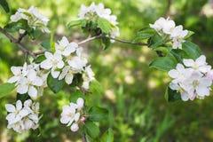 Ανθίζοντας μήλο κλάδων Στοκ Φωτογραφίες